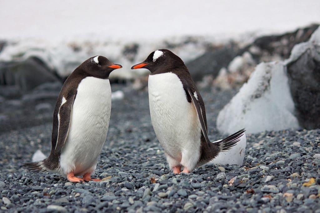 Pair of Penguins in Antartica
